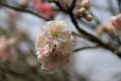 2010-04-19_EOS 7D_0605、「花桃・ハナモモ」、三輪酒造、1