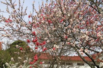 2010-04-19_EOS 7D_0609、「花桃・ハナモモ」、三輪酒造、4