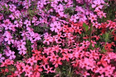 2010-04-19_EOS 7D_0617、「芝桜・シバザクラ」、