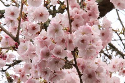2010-04-21_EOS 7D_0644、「八重桜・ヤエザクラ」、桑山、1