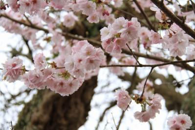 2010-04-21_EOS 7D_0646、「八重桜・ヤエザクラ」、桑山、3