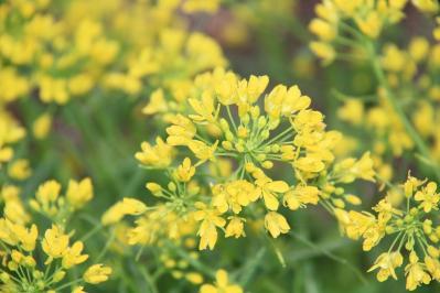 2010-04-21_EOS 7D_0647、「菜の花・ナノハナ、アブラナ」、越後屋、