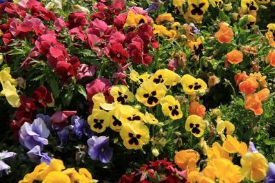 「パンジー・3色すみれ」、倉敷中央病院・屋上庭園、