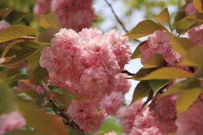 「牡丹桜・ボタンザクラ」、倉敷中央病院、2010.4.26、3