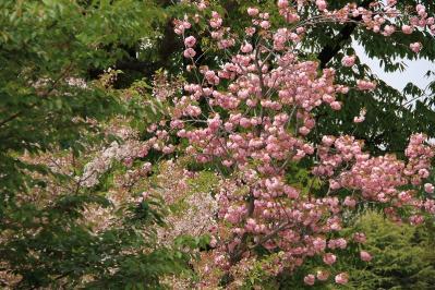 「牡丹桜・ボタンザクラ」、倉敷中央病院、2010.4.26、6