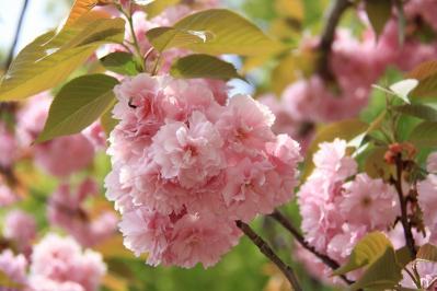 「牡丹桜・ボタンザクラ」、倉敷中央病院、2010.4.26、5