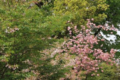 「牡丹桜・ボタンザクラ」、倉敷中央病院、2010.4.26、7