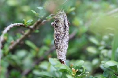 2010-05-13_EOS 7D_0982、「昆虫の巣?」、