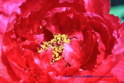2010-05-13_EOS 7D_0907署名入り、「ボタン・牡丹」、2010.5.13.、油木・豊田、1