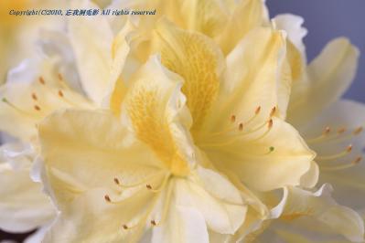2010-05-13_EOS 7D_0996署名入り、「シャクナゲ・石楠花」、2010.5.13.、油木・赤木、