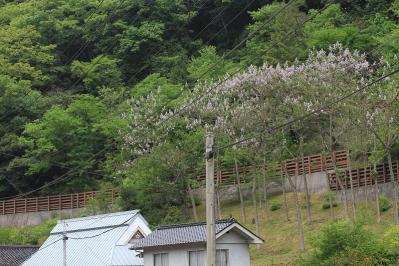2010-05-22_EOS 7D_1165「キリ・桐の木」、2010.05.22.、新免、