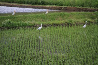 2010-05-24_EOS 7D_1339、「シラサギの群れ、子供・幼鳥+成鳥・親鳥」2010.5.24.、