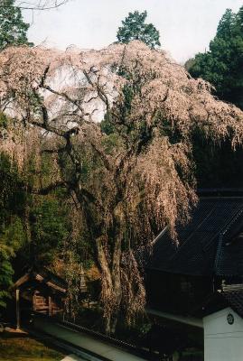 H22.4.井田撮彩「三次市吉舎・大楽寺、枝垂れ桜」、『』、