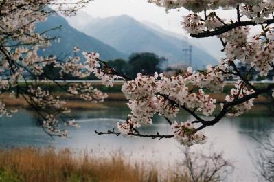 H21.4.井田撮彩、「萩・松本川、染井吉野桜」、『』、