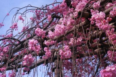 H.20.4.井田撮彩、「京都・清水寺、枝垂れ桜」、『』、