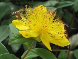 頑張るミツバチ