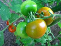 このトマトが赤くなっていきます。