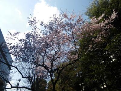 新宿歴史博物館のタカトウコヒガンサクラ