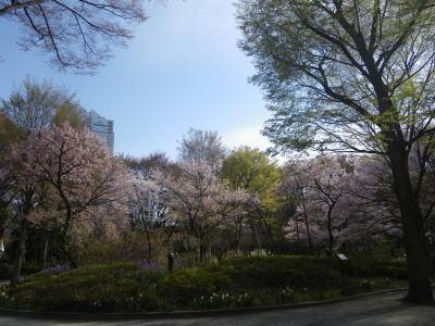 新宿中央公園の桜 ソメイヨシノ タカトウコヒガン