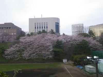 四ッ谷 真田壕の桜