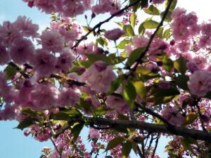 わが家の八重桜