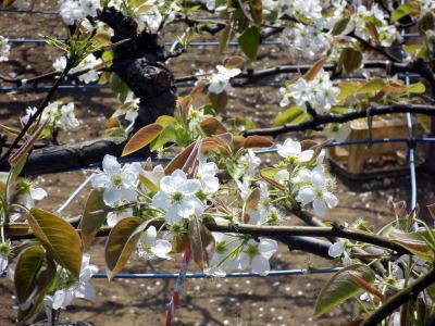 稲城 梨の花
