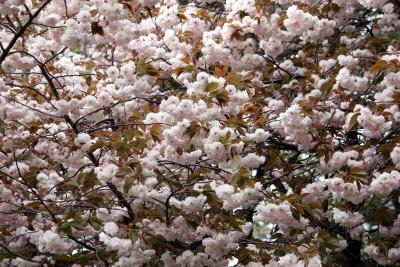 砧公園 八重桜