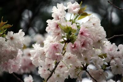 砧公園 白い八重桜