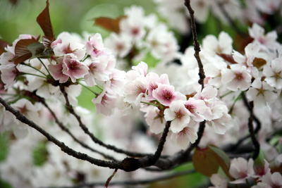 砧公園 満開の桜