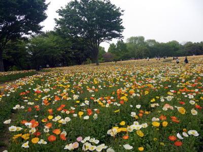 昭和記念公園 一面に咲くポピー