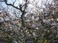 祇園白川の梅2