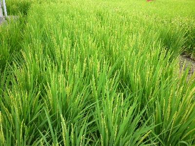 安田農園7