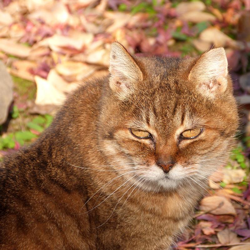 落ち葉色のネコ