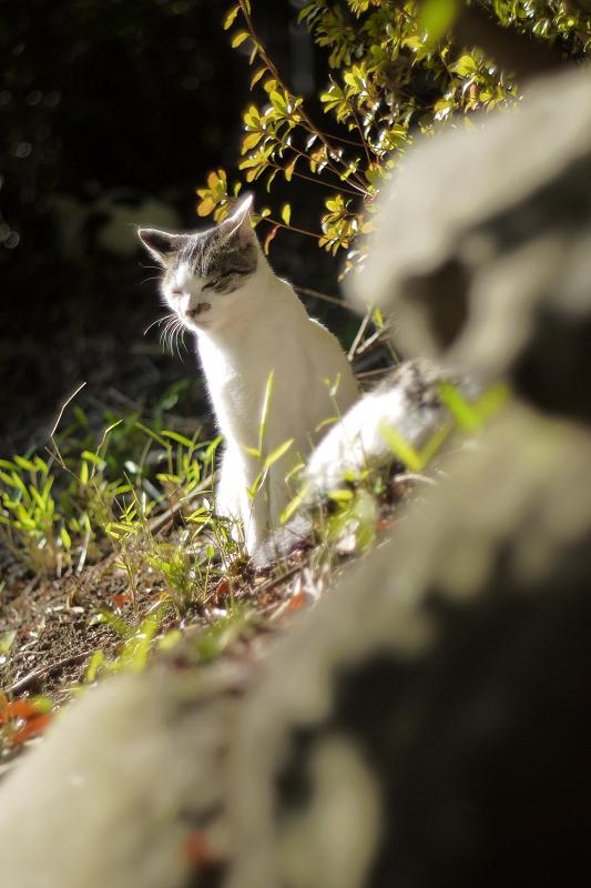朝日を受けて輝くネコ