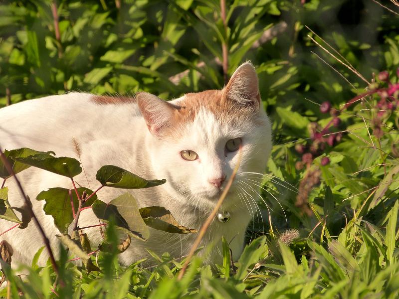 草むらでジーッと見ているネコ