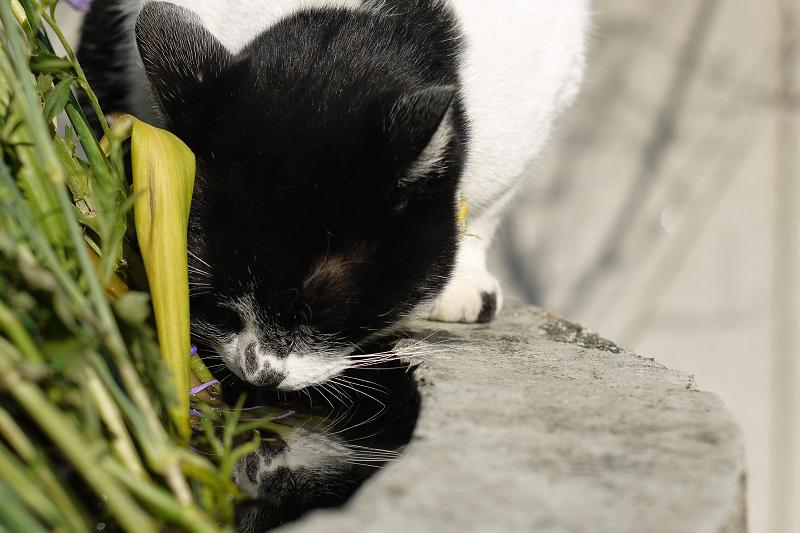 献花台の水を飲むネコ