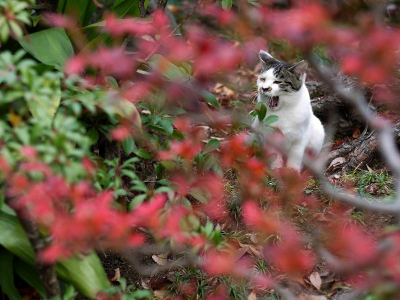 赤い花越しの欠伸ネコ