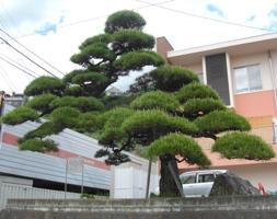 119 吉田の松