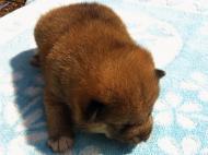 2011年9月12日生まれ オス 赤毛1