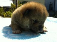 2011年9月12日生まれ オス 赤毛2