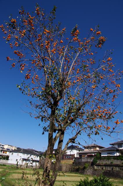 青空と柿木