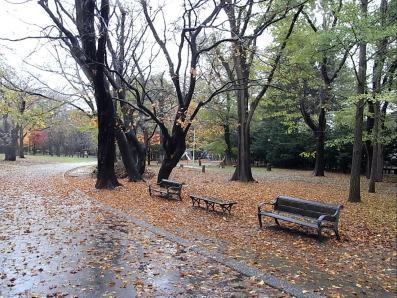 円山公園イタヤカエデ落ち葉