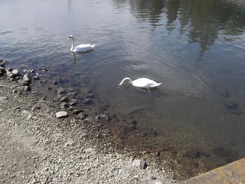手賀沼公園の白鳥