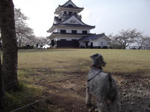 館山城をバックにウィル