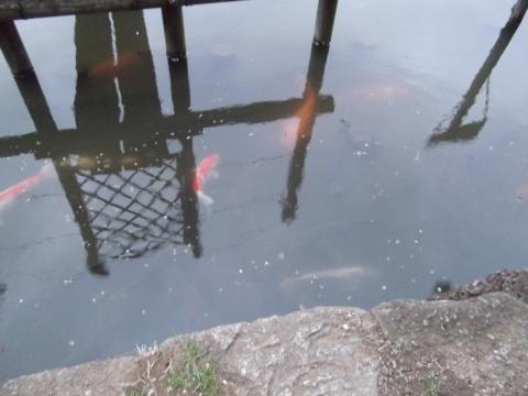 千葉公園の鯉