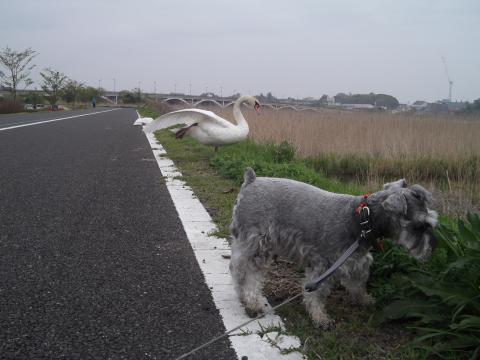 白鳥とウィル