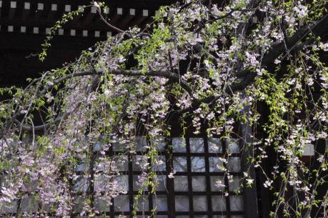 3しだれ桜