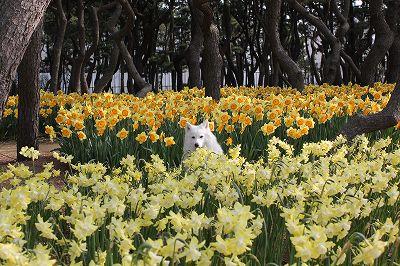 水仙花壇 Ⅰ