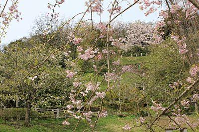 遠目には景色は桜色