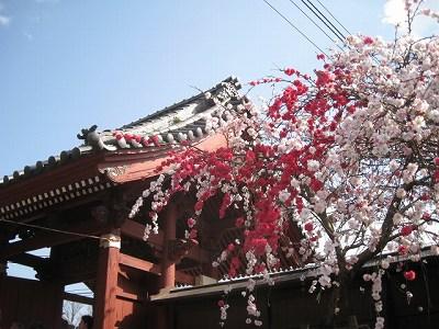 表門(通称赤門)の豪華な桃